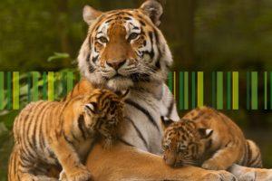 Сохранение Амурских Тигров при помощи карты РСХБ